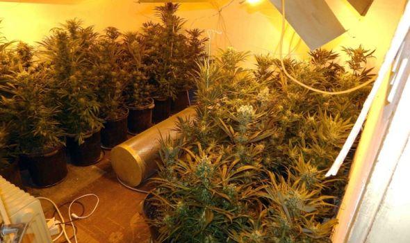 """""""Pao"""" Kragujevčanin: Otkrivena potpuno opremljena laboratorija za uzgoj marihuane (FOTO)"""