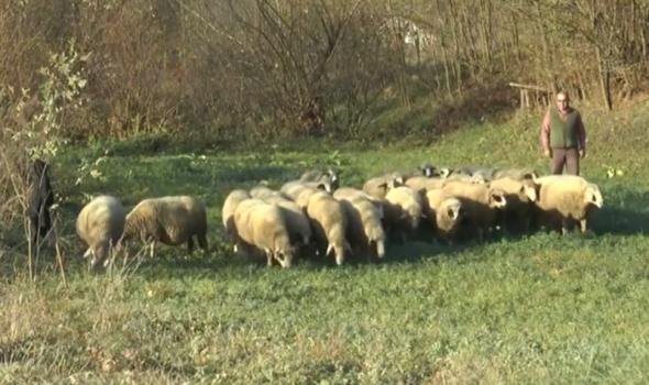 Unapređenje proizvodnje u govedarstvu i ovčarstvu, stanje nije zadovoljavajuće