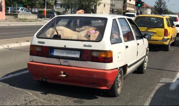NESVAKIDAŠNJE: Prevozio ovce u gepeku (FOTO)