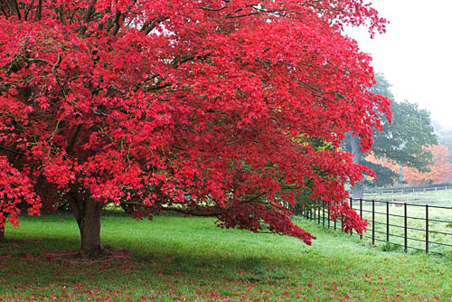 javor crveni