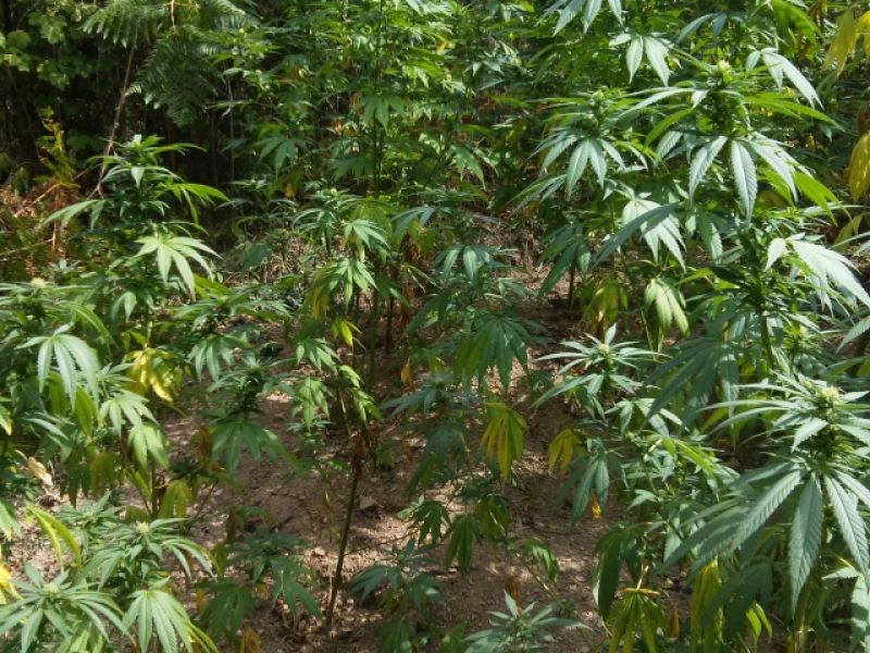 Geografija u službi uzgajanja marihuane: Uhapšen Kragujevčanin, zaplenjena droga