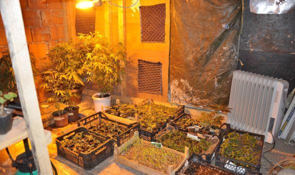Otkrivena laboratorija za proizvodnju droge u Kragujevcu: Gajio marihuanu u porodičnom domaćinstvu (FOTO)