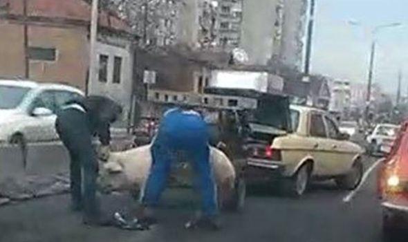 NESVAKIDAŠNJE: Svinja blokirala saobraćaj na Maloj vagi (VIDEO)