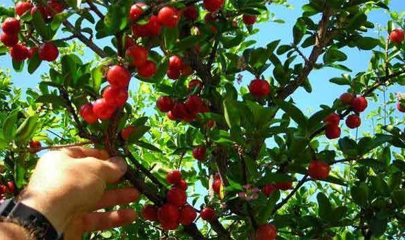 Učestali padovi: Beru voće za novac, a zarade upute za ortopediju