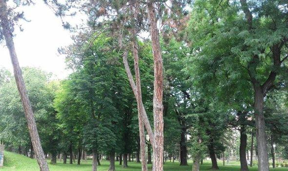 Sa borova u Velikom parku grane padaju na prolaznike (FOTO)
