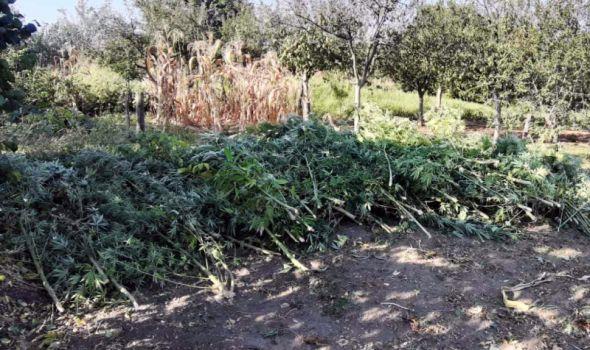 HAPŠENJE: Kragujevčanin na porodičnom imanju gajio indijsku konoplju