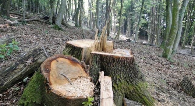 Opustošili šumu: Na prevaru posekli više od 500 stabala, šteta milionska